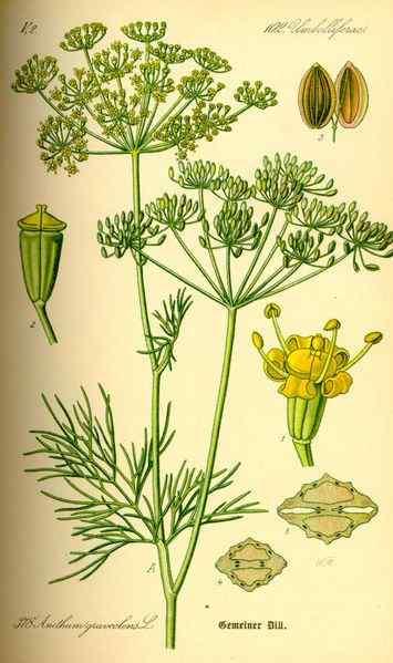 Укроп пахучий, или огородный