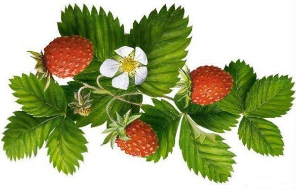 Фармакологические свойства лекарственных растений, применяемых при лечении гипертонии