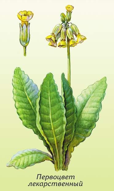 Первоцвет весенний (примула)