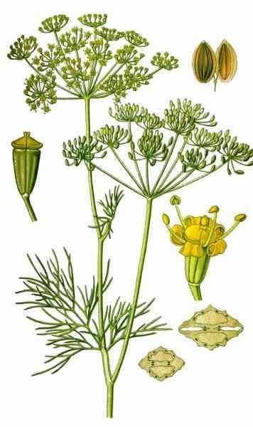 Укроп пахучий (огородный)